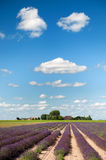 Lavender fields in Holland Stock Photo