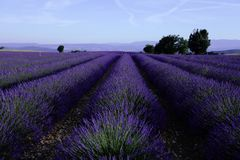 Lavender fields in July Stock Photos