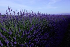Lavender fields in July Stock Images