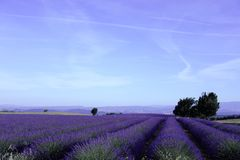Lavender fields in July Stock Photo