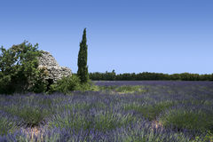 Lavender fields landscape provence france. Ancient stone hut in lavender fields of provence in france Royalty Free Stock Photography