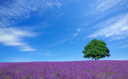 Lavender fields and lone tree Stock Photography
