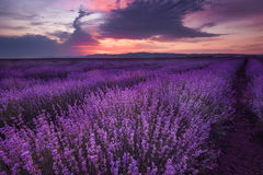 Lavender fields. Magnificent image of lavender field. Summer sunset landscape, contrasting colors. Dark clouds, dramatic sunset stock image