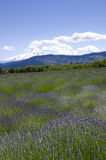 Lavender fields with Mt Hood Stock Images