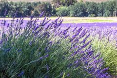 Lavender fields near Franschhoek, Western Cape South Africa royalty free stock image