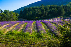 Lavender fields near the French Provence. Lavender fields of the French Provence Royalty Free Stock Photography