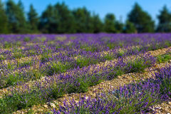 Lavender fields near the French Provence Stock Photo