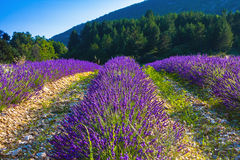 Lavender fields near the French Provence Royalty Free Stock Image
