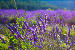 Lavender fields near the French Provence Stock Photos