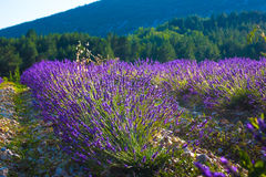 Lavender fields near the French Provence Stock Image