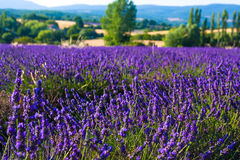 Lavender fields near the French Provence. Lavender fields of the French Provence Stock Photo