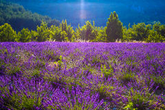 Lavender fields near the French Provence Royalty Free Stock Photos