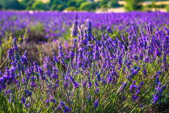 Lavender fields near the French Provence. Lavender fields of the French Provence Stock Image