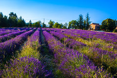 Lavender fields near the French Provence Royalty Free Stock Photography