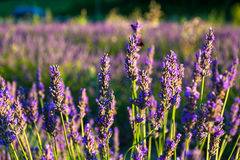 Lavender fields near the French Provence. Lavender fields of the French Provence Royalty Free Stock Photos