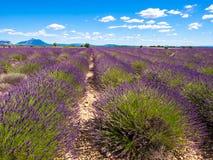 Lavender fields near in Provence. Lavender fields near Verdon lake in Provence Stock Photo