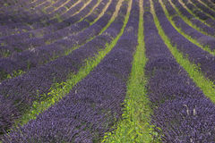 Lavender fields near Sault, France Royalty Free Stock Photos