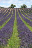 Lavender fields near Sault, France Royalty Free Stock Photography