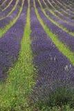 Lavender fields near Sault, France Royalty Free Stock Photo
