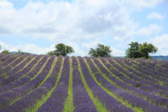 Lavender fields near Sault, France Royalty Free Stock Images