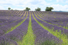 Lavender fields near Sault, France Royalty Free Stock Image