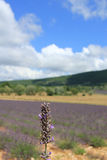 Lavender fields near Sault, France Stock Image