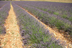 Lavender fields near Sault, France Stock Photography