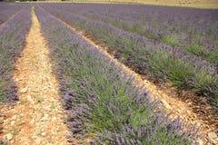 Lavender fields near Sault, France Stock Photography