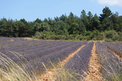 Lavender fields near Sault, Provence Stock Photos