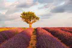 Lavender fields near Valensole in Provence, France. Stock Images