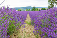 Lavender fields near Valensole in Provence, France. Royalty Free Stock Photography