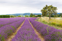 Lavender fields near Valensole in Provence, France. Royalty Free Stock Image