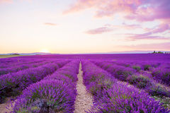 Lavender fields near Valensole in Provence, France Stock Photos