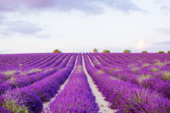 Lavender fields near Valensole in Provence, France Royalty Free Stock Image