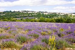 Lavender fields near Valensole in Provence, France. Blossoming lavender fields in Provence, France. On summer sunny day royalty free stock photo