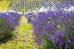 Lavender fields near Valensole in Provence, France. Stock Photos