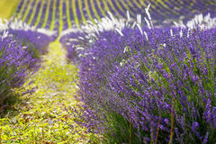 Lavender fields near Valensole in Provence, France Royalty Free Stock Photo