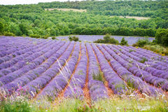 Lavender fields near Valensole in Provence, France Stock Photo
