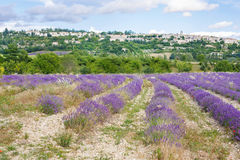 Lavender fields near Valensole in Provence, France. Stock Image