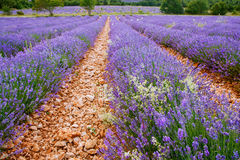 Lavender fields near Valensole in Provence, France. Royalty Free Stock Photos