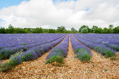 Lavender fields near Valensole in Provence, France. Stock Photography