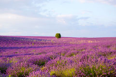 Lavender fields near Valensole in Provence, France Stock Image