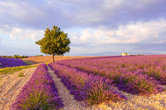 Lavender fields near Valensole in Provence, France Royalty Free Stock Photography