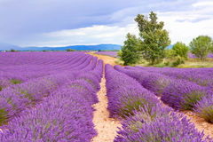Lavender fields near Valensole in Provence, France. Royalty Free Stock Photo