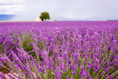 Lavender fields near Valensole in Provence, France. Royalty Free Stock Images
