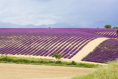 Lavender fields near Valensole in Provence, France. Stock Photo