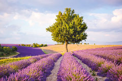 Lavender fields near Valensole in Provence, France on sunset Stock Photos