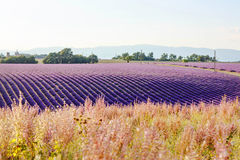 Lavender fields near Valensole in Provence, France on sunset Royalty Free Stock Images