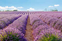 Lavender fields near Valensole in Provence, France on sunset Royalty Free Stock Photos