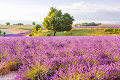 Lavender fields near Valensole in Provence, France on sunset Stock Image